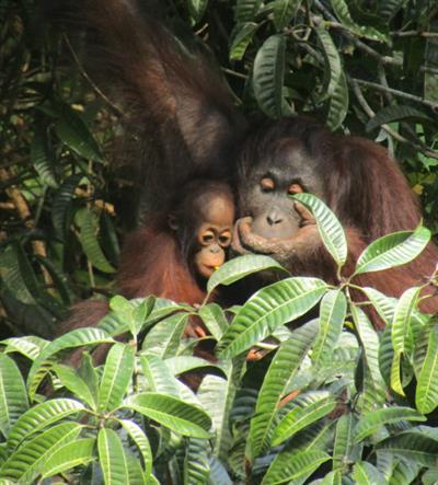 Ein Jahrzehnt voller Erfolg für den Schutz der Heimat der Orang-Utans