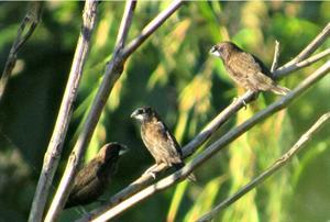 Vögel in Bukit Batikap