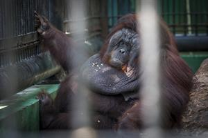 Orang-Utan verkümmert im Käfig