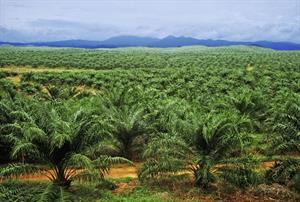 Palmölpalmen soweit das Auge reicht