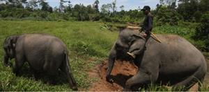 Elfanten in Indonesien
