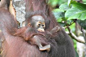 Das Baby der ausgewilderten Orang-Utan-Mutter Lesan hat nun einen Namen: Ayu