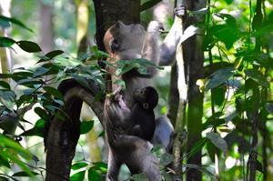 Makaken im Wald