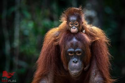 Kann dieses Orang-Utan-Baby in nächster Generation in der Wildnis aufwachsen?
