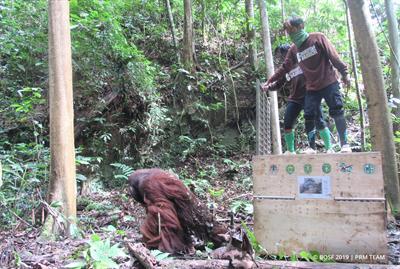 103 Orang-Utans im Schutzwald Kehje Sewen in Freiheit