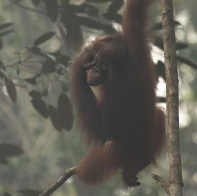 Wir sind sehr besorgt um die Gesundheit der Orang-Utans