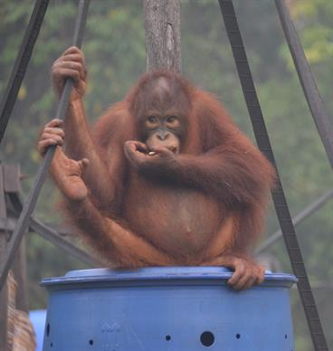 Giftige Smog gefährdet die Gesundheit der Orang-Utans