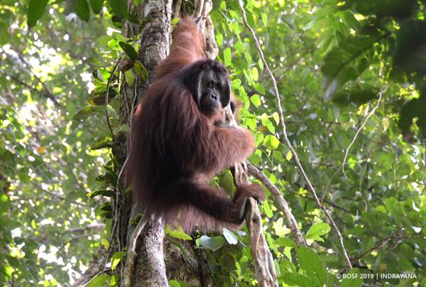 Rosidin, ein halbwilder Orang-Utan, wurde in die Freiheit entlassen
