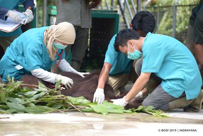 Auswilderung der 6 Orang-Utans wird vorbereitet