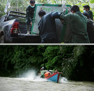 Neben ehemaligem Zoo-Tier aus Jakarta weitere 3 Orang-Utans ausgewildert