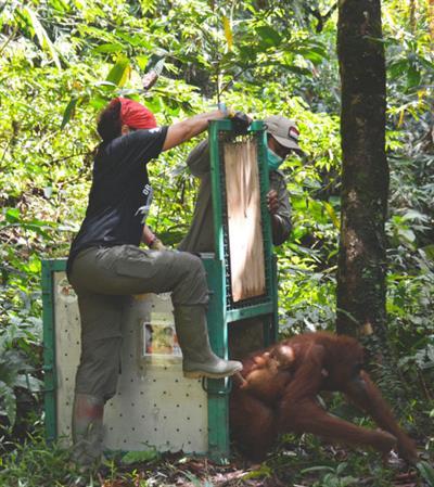 Ausgewilderte Orang-Utans weiterhin beobachten