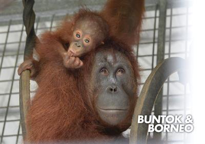 Orang-Utan Buntok und Borneo geniessen bald die Freiheit