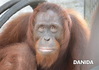 Orang-Utan Danida geniesst bald die Freiheit
