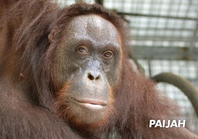 Orang-Utan Paijah ist bald in der Freiheit
