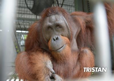 Orang-Utan Tristian freut sich auf seine Freiheit in den nächsten Stunden