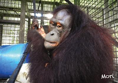 Orang-Utan Mori ist bald in der Freiheit