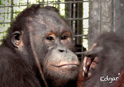 Edgar, das Orang-Utan-Männchen, geniesst bald die Freiheit