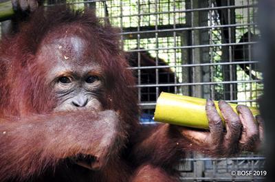 Orang-Utan Elder wird ausgewildert und kann bald die Freiheit geniessen