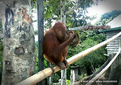 Orang-Utan-Rettung - Das neue Orang-Utan-Junge in Samboja Lestari