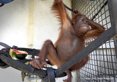 Orang-Utan-Rettung - dreijährige Orang-Utan-Junge in Samboja Lestari