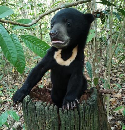 Erster Malaienbär, der ausgewildert werden könnte