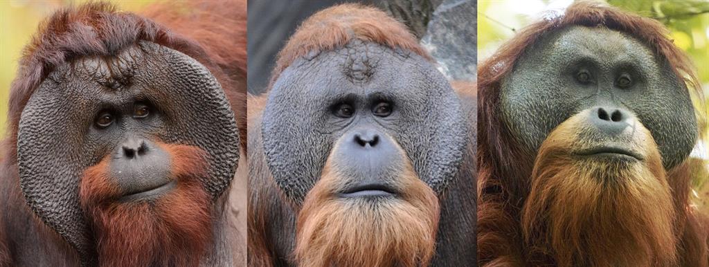 Der Borneo-Orang-Utan (Pongo pygmaeus), der Sumatra-Orang-Utan (Pongo abelii) u