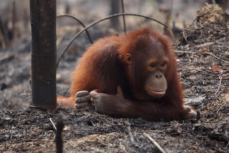 Orang-Utan-Rettung – Danke für Ihre Spende!