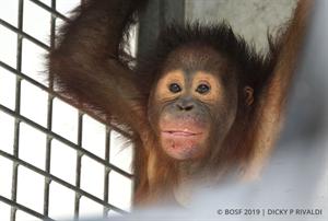 Orang-Utan-Waise Klaus geht bald in die Waldschule