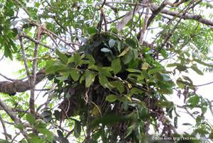 Schlafnester als Schutz für die Langschläfer des Regenwalds