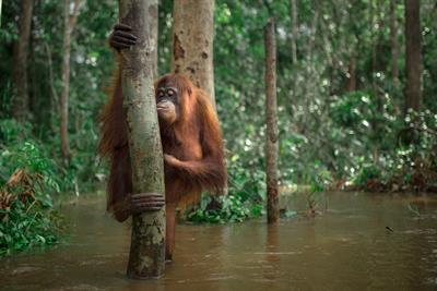 Orang-Utans lieben und brauchen den indonesischen Regenwald, genauso wie wir