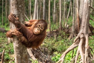 Orang-Utans halten sich nicht an Grenzen