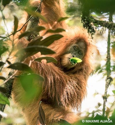 Tapanuli - entdeckt, schon vom Aussterben bedroht