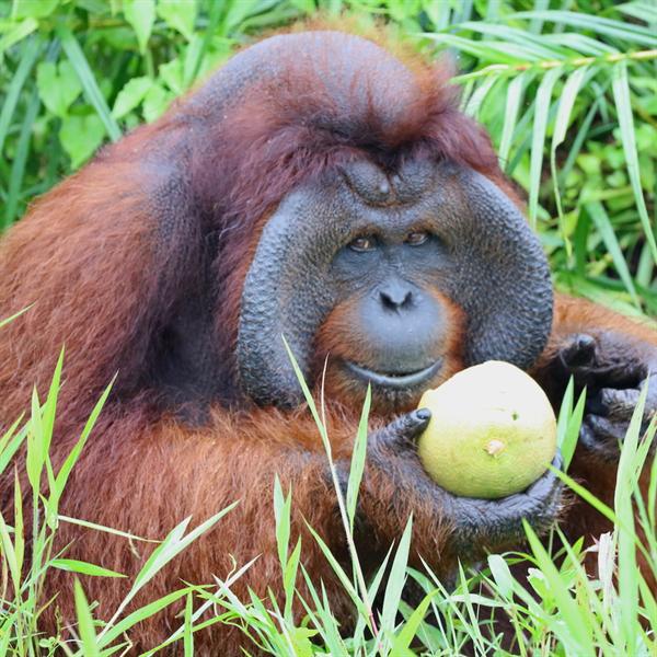 Ein ausgewachsenes Orang-Utan-Männchen bei der Nahrungsaufnahme