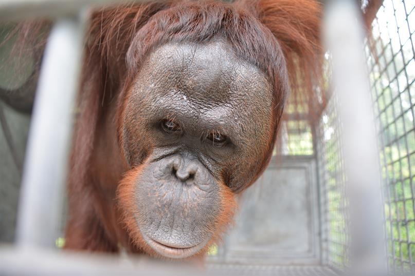 Porträt des Orang-Utan-Männchens Batola