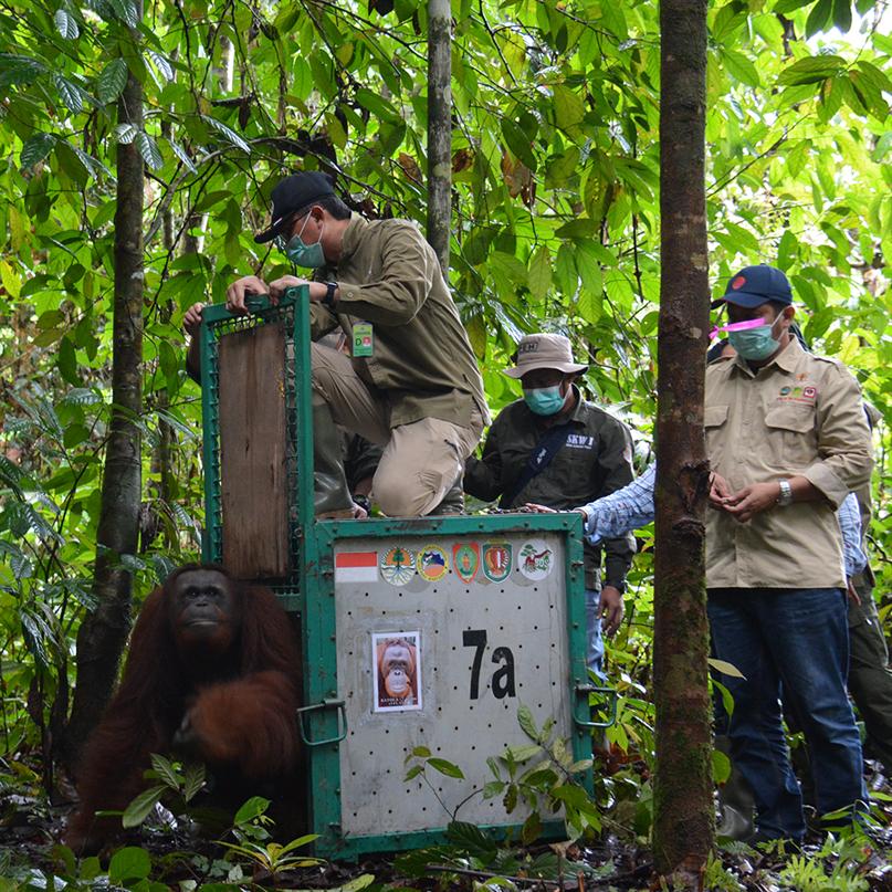Ein Orang-Utan wird aus dem Transportkäfig in die Freiheit entlassen