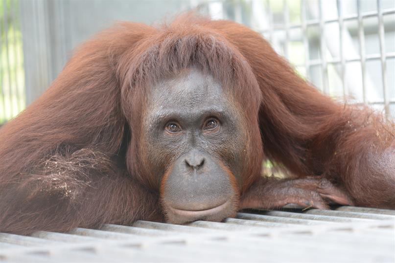 Porträt des Orang-Utan-Weibchens Paduran
