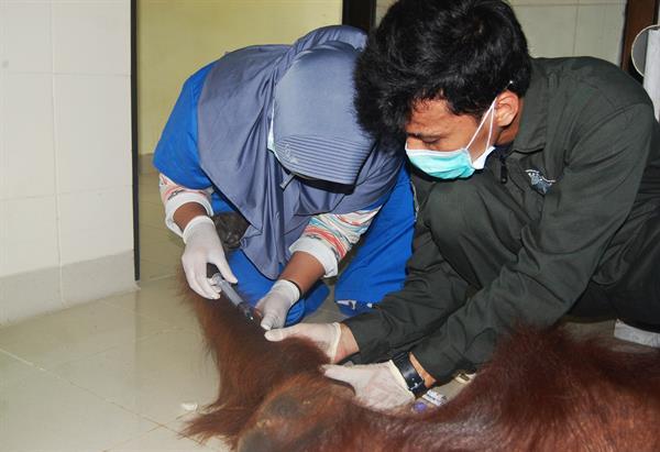Medizinisches Personal führt einen Gesundheits-Check bei einem Orang-Utan durch