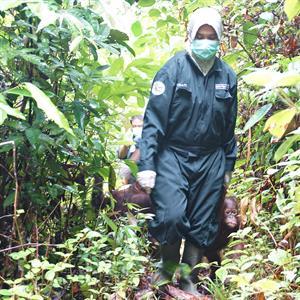 Eine Babysitterin mit jungen Orang-Utans auf dem Weg in die Waldschule