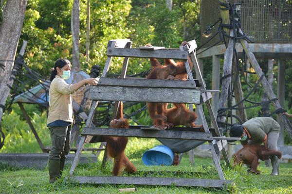 Eine Pflegerin füttert junge Orang-Utans in der Waldschule