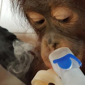 Ein Baby-Orang-Utan an einem Beatmungsgerät