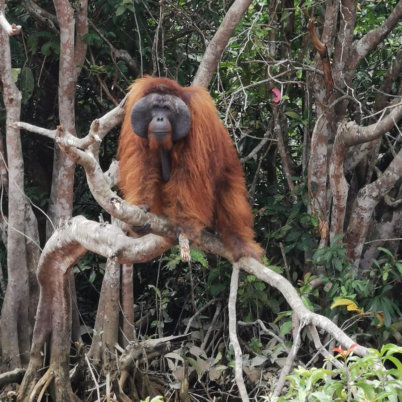 Orang-Utan-Männchen Cesar auf Salat Island
