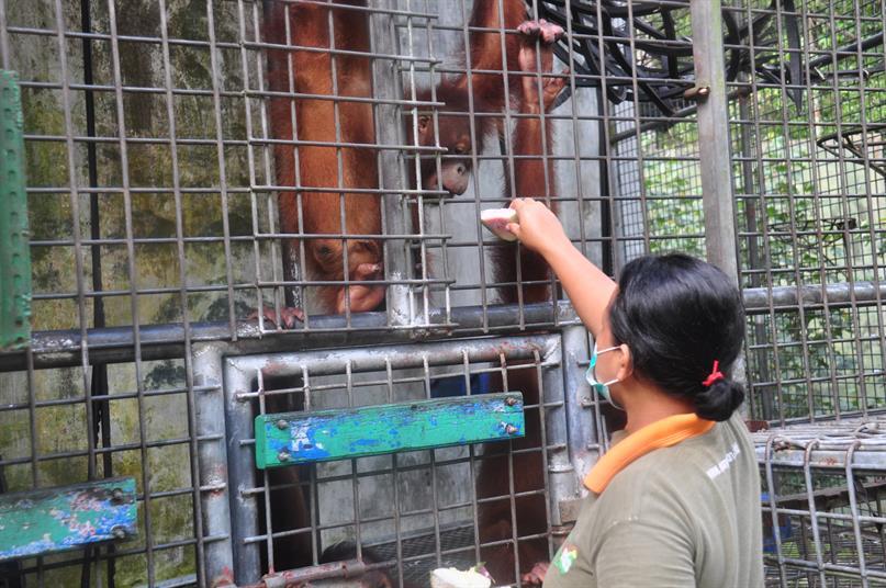 Hanni bei ihrer Arbeit mit den Orang-Utans in der Rettungsstation.