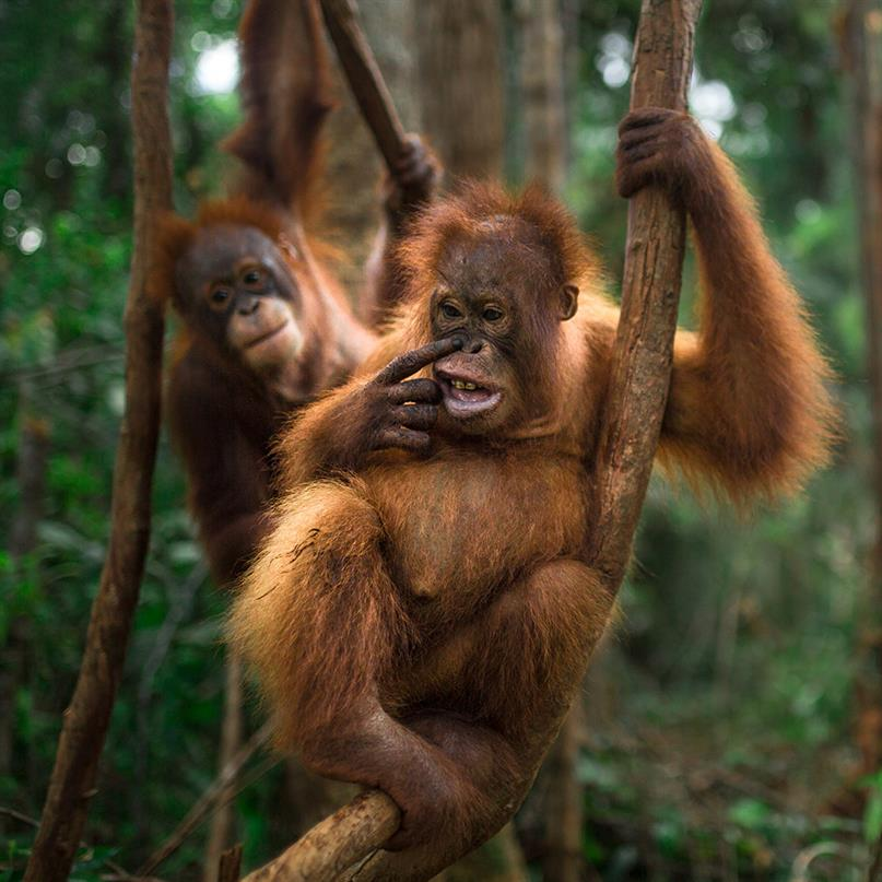 Junge Orang-Utans im Wald