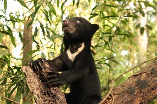 Ein junger Malaienbär klettert auf einen Baum