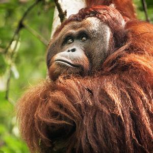 Orang-Utan Kisar auf einem Baum