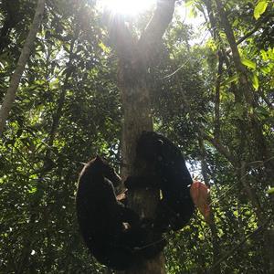 Zwei junge Malaienbären klettern auf einen Baum