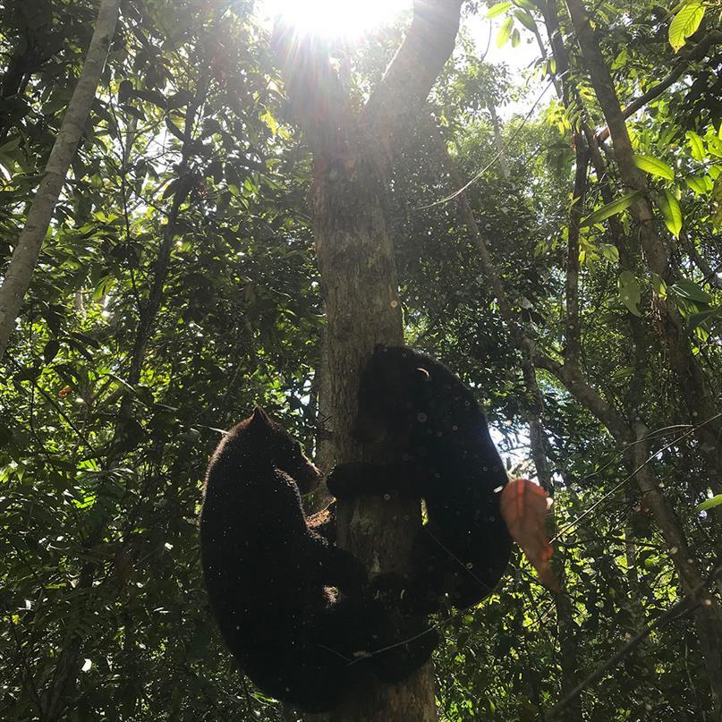 Die zwei Malaienbären Chiko und Kiki klettern einen Baum hinauf