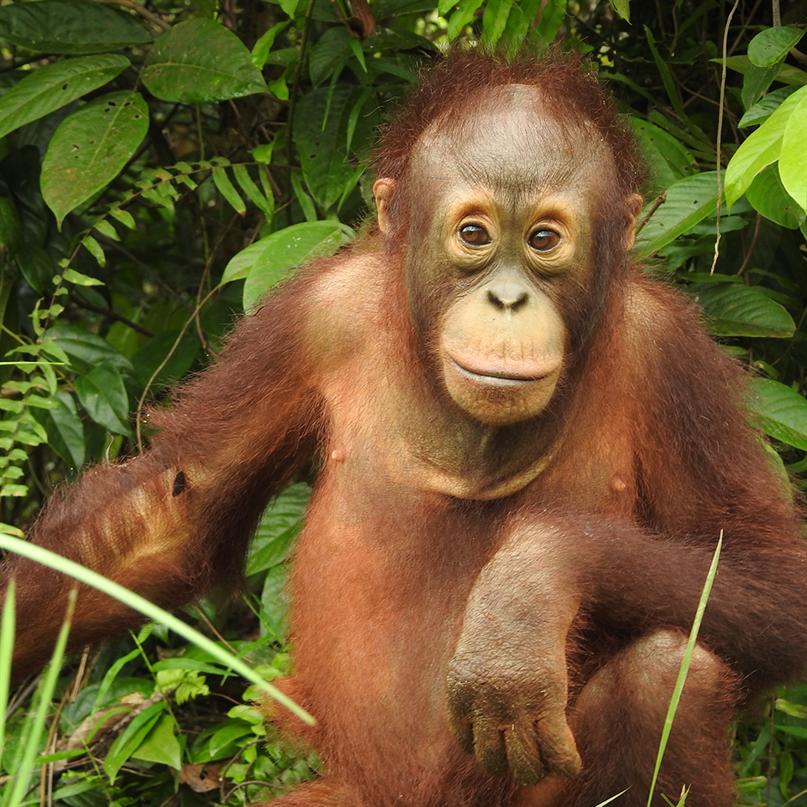 Der junge Orang-Utan Marlon sitzt vor einer Kulisse aus Blättern