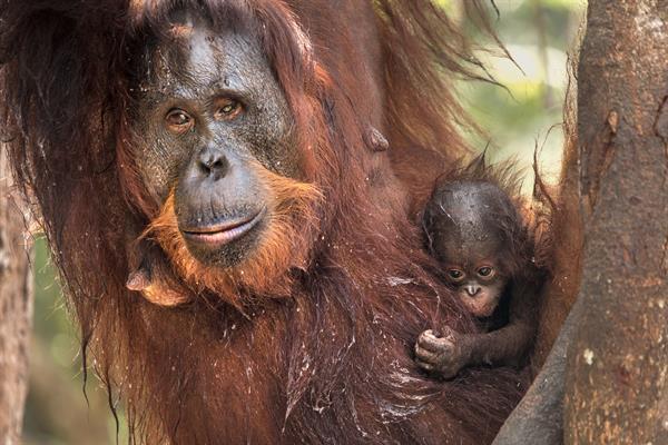 Eine Orang-Utan-Mutter mit ihrem Baby