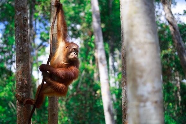 Ein Orang-Utan hält sich an einem Ast fest